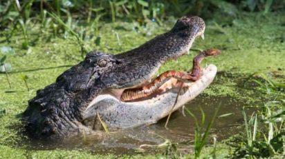 alligator tongue